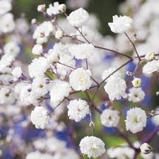 babys breath baby s breath seeds gardening on carousell
