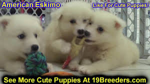 american eskimo dog puppies near me american eskimo puppies dogs for sale in jacksonville florida