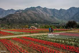 spring flowers in bloom in asia u0027s largest tulip garden photos and