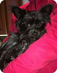 affenpinscher in texas tyson adopted dog pleasanton ca affenpinscher yorkie