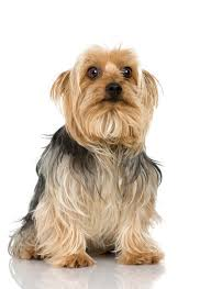 silky terrier with haircut do silky terriers get dry skin pets