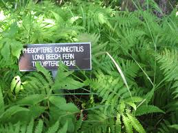 native plants in massachusetts ferns the sanguine root
