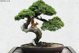 species of miniature squirrel found in bonsai trees the poke