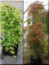 acer palmatum ryusen japanese maples ornamental trees