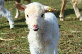 lambs 2017 u2013 woodgrain farm