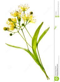 linden flower linden flower stock image image 10929961