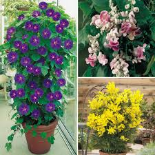 evergreen potted plants for deck flowers flower plants climbing