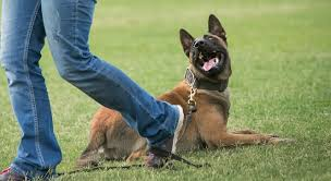 belgian shepherd navy seals tough love are your squashing your dog u0027s work ethic the