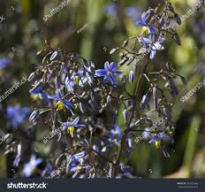wisteria sinensis australian bush flower blue flowers australian native plant dianella stock photo