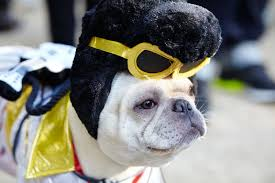 human dog costumes for halloween the best diy dog costumes for halloween pedigree foundation