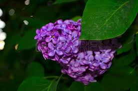 Shrub With Fragrant Purple Flowers - lilac large garden shrub with purple lilac or white fragrant