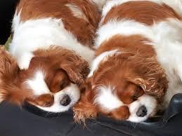 queen s dogs dogs in need of rehoming u2013 heronbank cavaliers