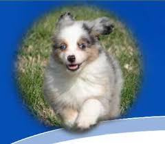 6 week australian shepherd miniature australian shepherd for sale ads free classifieds