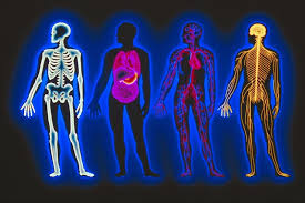 Anatomy And Physiology Human Body Human Body Systems Welcome To W105