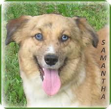 australian shepherd collie mix samantha blue eyed beauty adopted puppy adoption pending