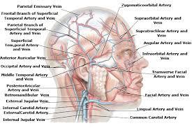 Human Anatomy Anterior Parietal Emissary Vein Frontal Branch Of Superfical The Human Head