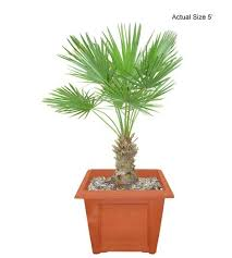mediterranean fan palm tree european fan palm tree mediterranean fan palm chamaerops humilis
