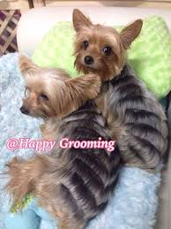 yorkie hair cut chart 35 best happy grooming images on pinterest yorkie yorkies and