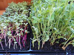 growing microgreens an indoor winter garden in wi continuing