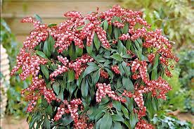 top 10 shrubs for your small space garden birds and blooms