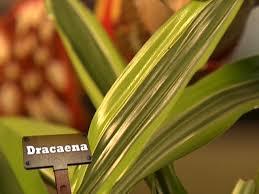 Tropical Plant Diseases - q u0026a leaf spots on dracaena hgtv