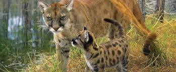 policy and advocacy florida panther conservancy of southwest