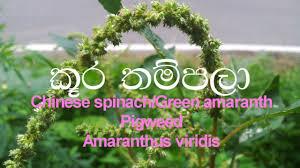 native chinese plants kuura thampala chinese spinach green amaranth pigweed