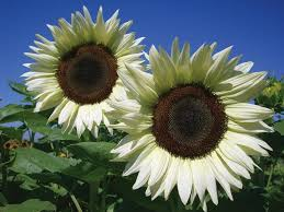 What Color Is Tope by 13 Unexpected Sunflower Colors Hgtv