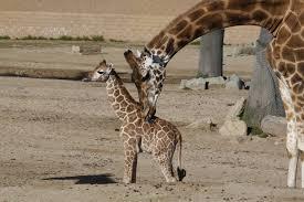 San Diego Zoo Safari Park Map by Meet The New Baby Animals At The San Diego Zoo And Safari Park