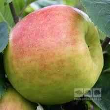 mail order fruit malus blenheim orange apple tree mail order trees