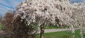 weeping cherry tree care and pest doityourself com