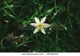 of bethlehem flower of bethlehem flower stock images royalty free images