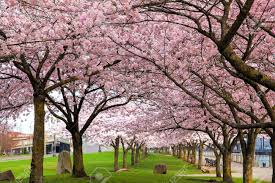 rows of japanese cherry blossom trees in bloom at portland oregon