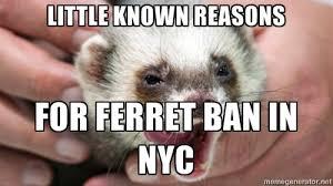 Ferret Meme - meme d from the headlines new york city has banned ferrets for 15