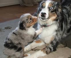 australian shepherd 4 months size australian shepherds blue merle it u0027s a dog thing pinterest