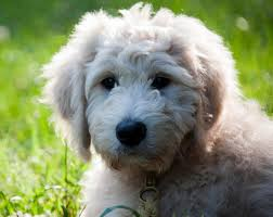 goldendoodle puppy virginia carriage house goldendoodle reviews and testimonials virginia