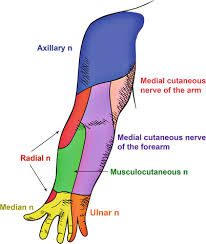 Innervation Of Infraspinatus Clinical Anatomy Of The Dermatomes And Innervation Of The Joints