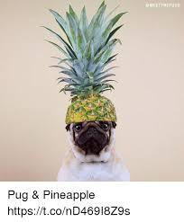 Ananas Pineapple Meme - pug pineapple httpstcond469i8z9s pineapple meme on me me