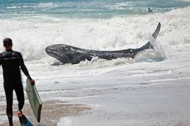 video baby whale washes up near the wedge in newport beach swims