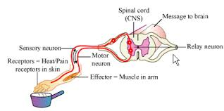 Pain Reflex Pathway What Is A Reflex Action Illustrate The Pathway Followed By A Mess