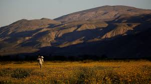 the desert is in super bloom at anza borrego state park la times