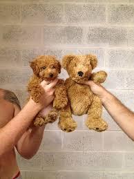 american eskimo dog for sale in colorado 17 chubby puppies that look like teddy bears bored panda