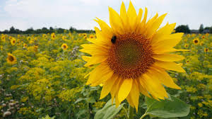 tips to grow and take care of sunflowers blog nurserylive com