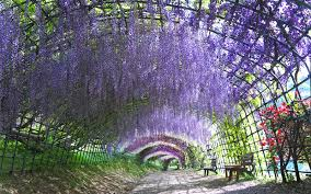 japan flower tunnel take a walk through japan s magical wisteria tunnels travel leisure