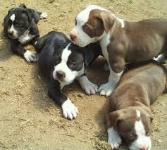 american pitbull terrier in india 236 best pitbulls images on pinterest animals dogs and pitt bulls