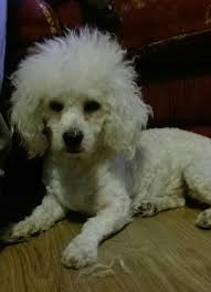 2 month old bichon frise ted u2013 7 month old male bichon frise dog for adoption