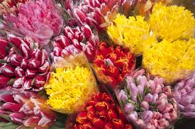 free images petal red yellow flora flowers bright tulips