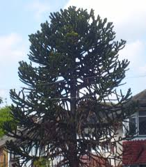 Types Of Garden Trees What Type Of Pine Is This Growing Trees Cactus North