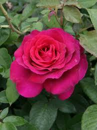 china with roses free images flower petal pink shrub floribunda flowering