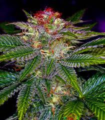 grow these delicious purple marijuana strains big buds magazine